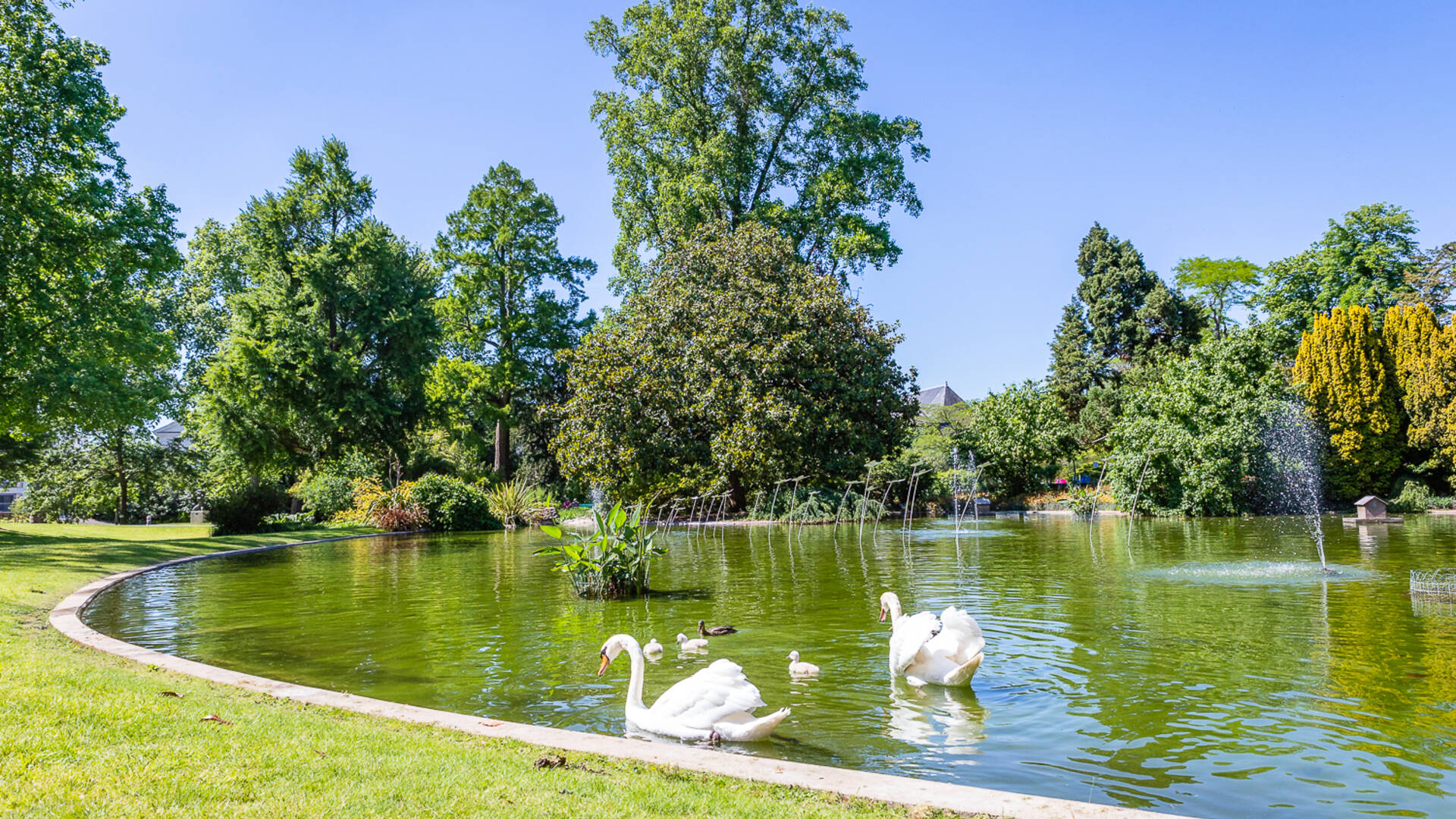 Cygnes sur le plan d'eau du jardin des plantes d'Angers